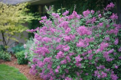 Potsdam lilac tour will be held May 10-13