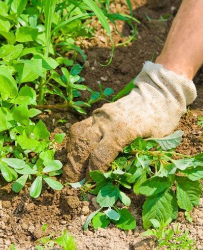 Peparing to battle weeds for the sake of veggies