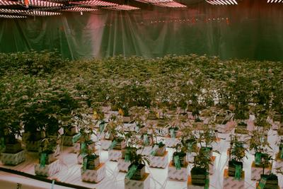 The next big U.S. export could be cannabis