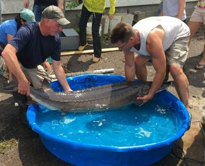 Recent sturgeon catch may be largest fish ever recorded from Oneida Lake