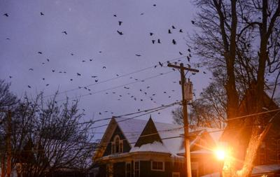 Crows killed in hazing effort