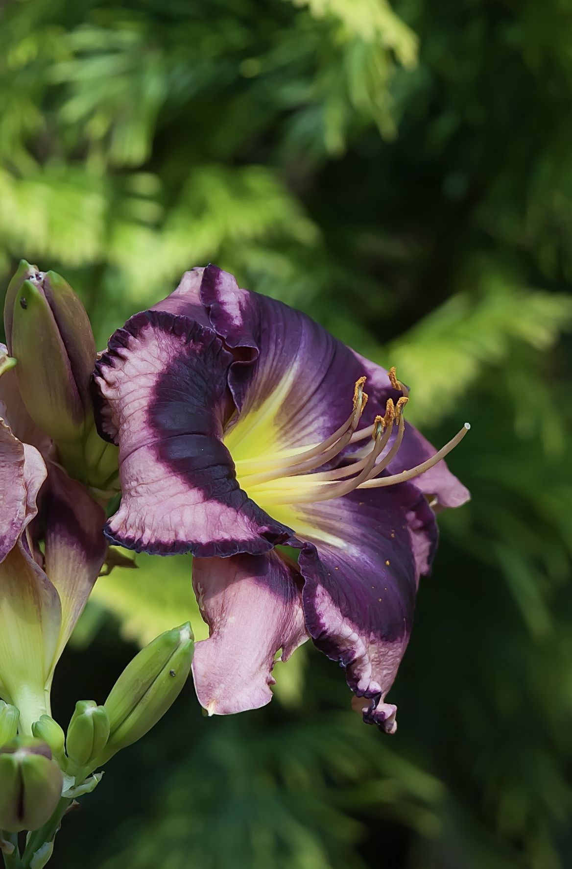 Put your garden in blooming rhythm Stunning daylilies keep the show going on and on