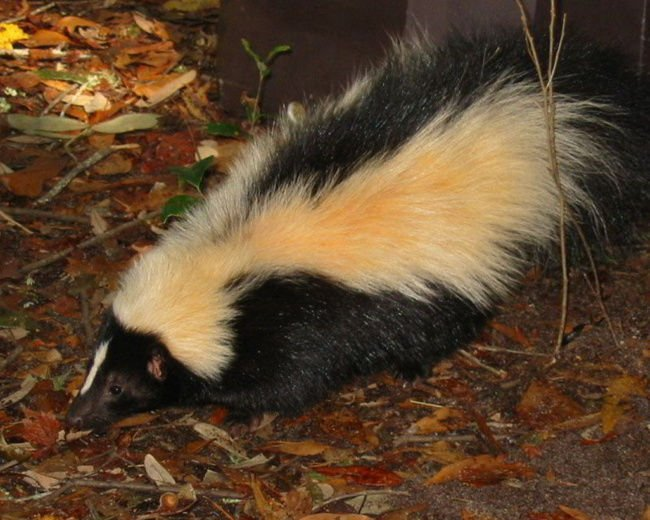 Skunk, bat test positive for rabies