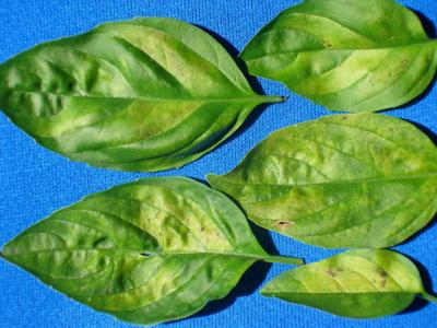 Downy mildew can ruin basil