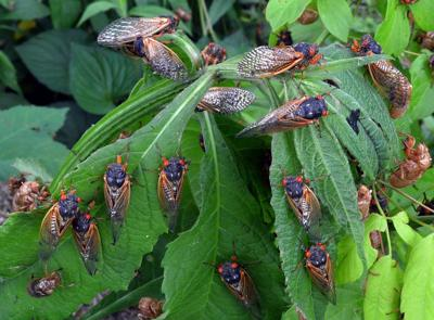 'Bug doctor' looks at soil conditions before Brood X cicadas surface