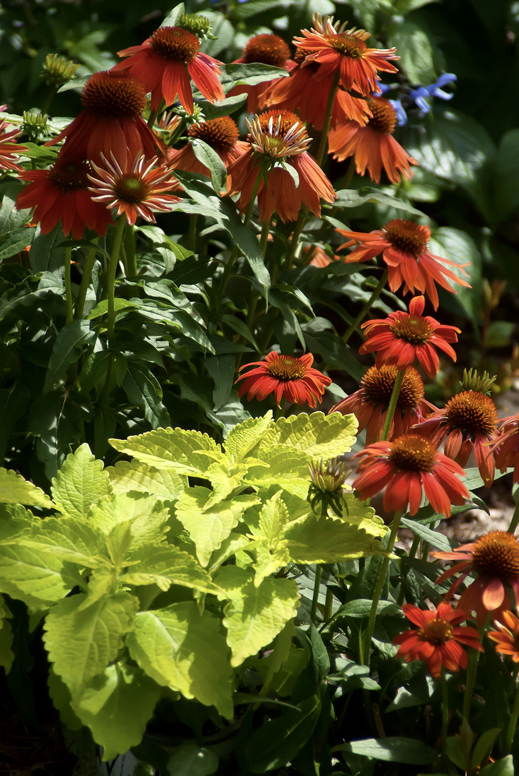 FAB FOLIAGE It's a 'wonderfully wicked' year for colorful coleus