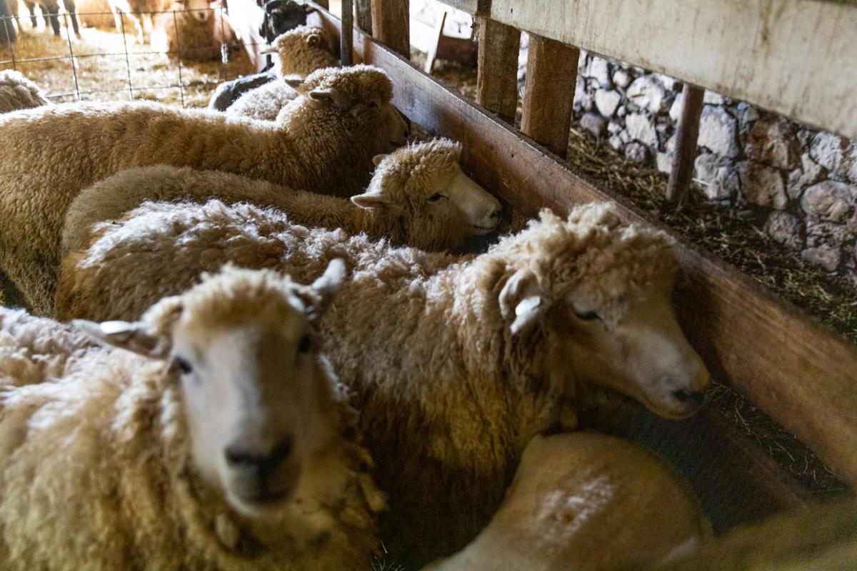 0929_wdj_sheepshearing_SS2.JPG