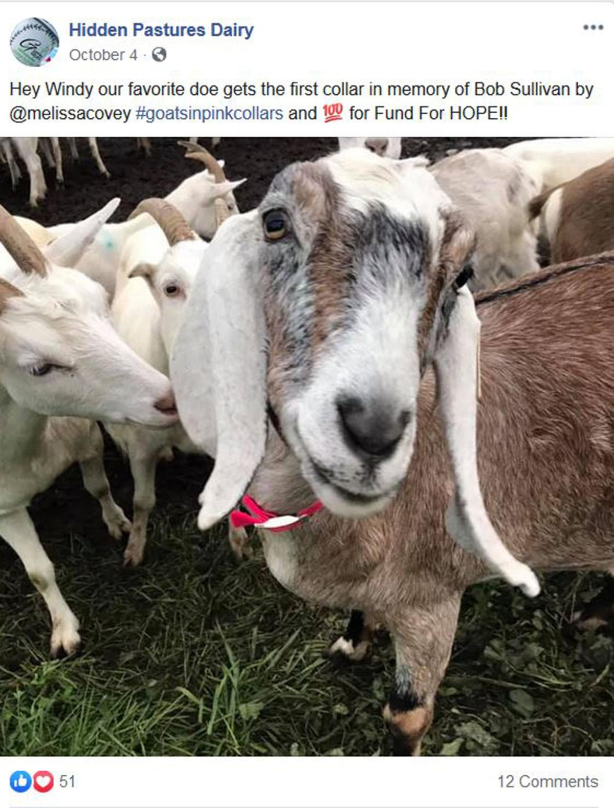Glenfield goats help collar donations for cancer fund
