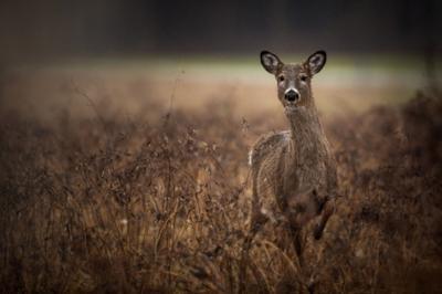 DEC offers deer control proposal
