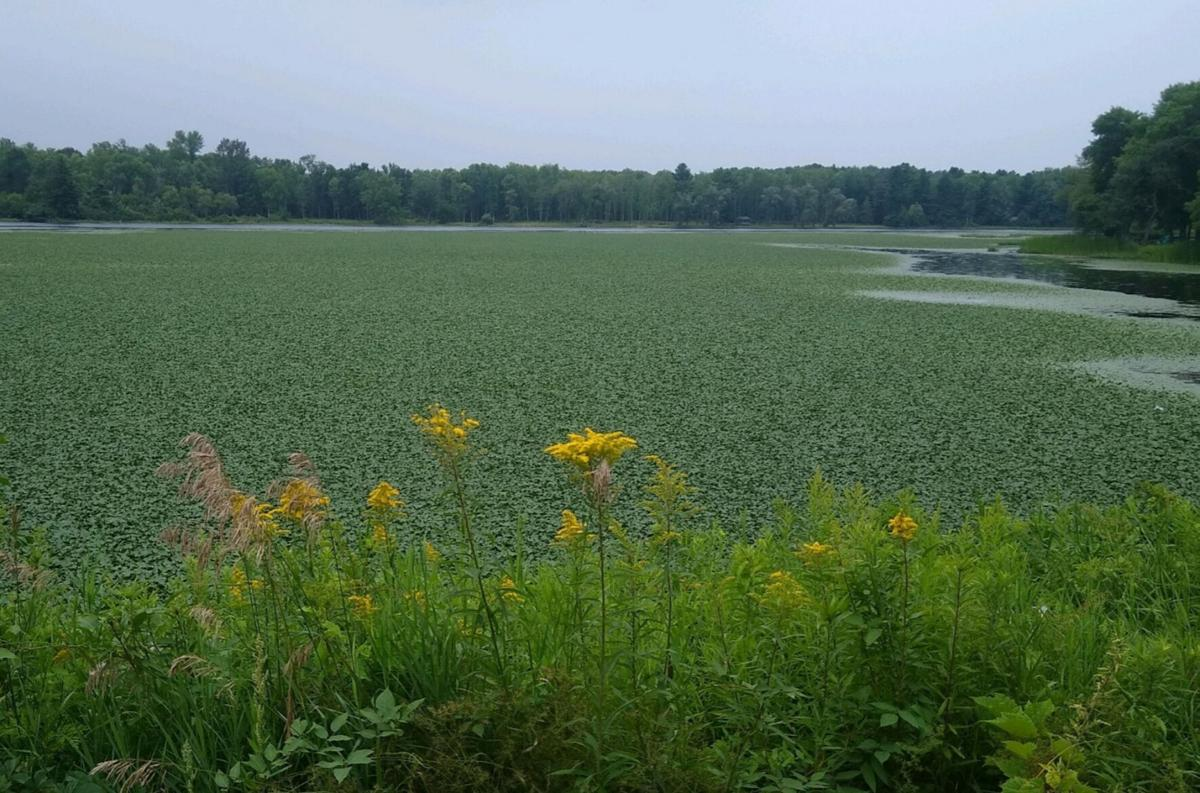 Strategy developed to combat invasive water chestnut on Oswegatchie River