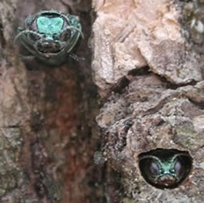 Chairvolotti will speak about emerald ash borer and tree health Oct. 12 at Rice Creek Field Station