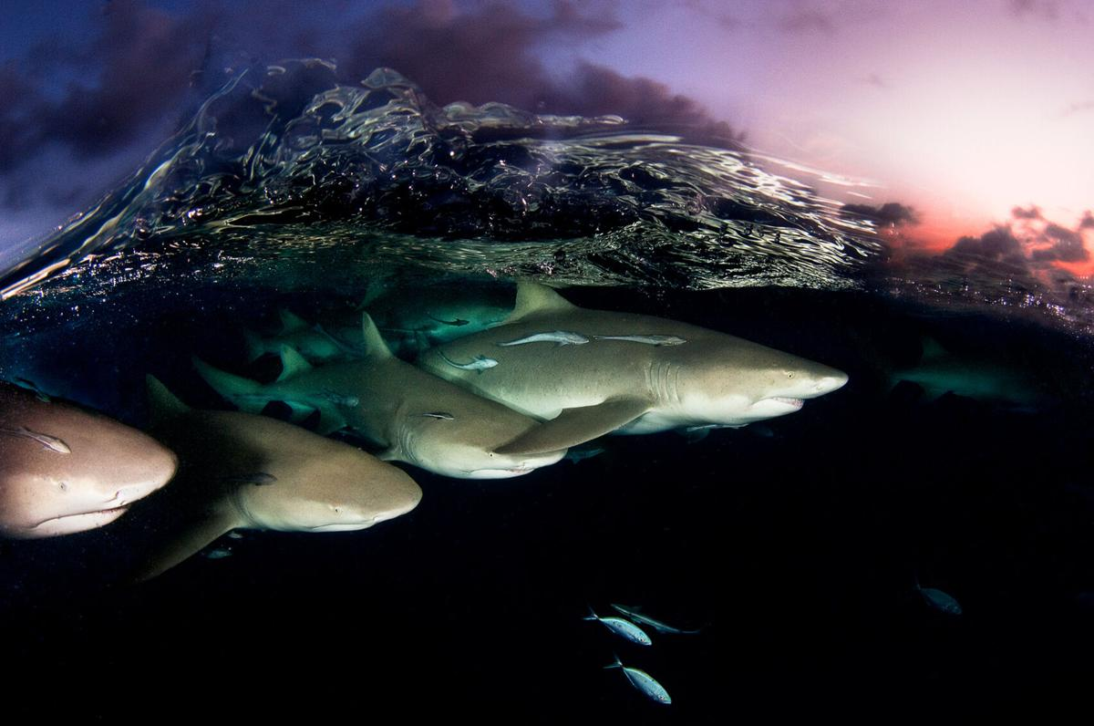 'Ghosts of the Sea' Report of shark decline hits home for Clayton couple