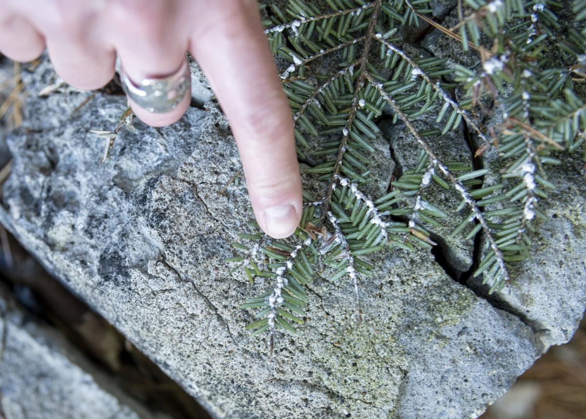 Hemlocks treated for invasive woolly adelgid