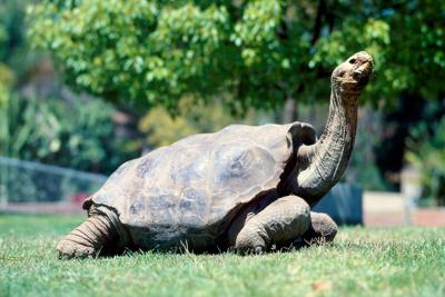 Giant tortoise is saving species from extinction