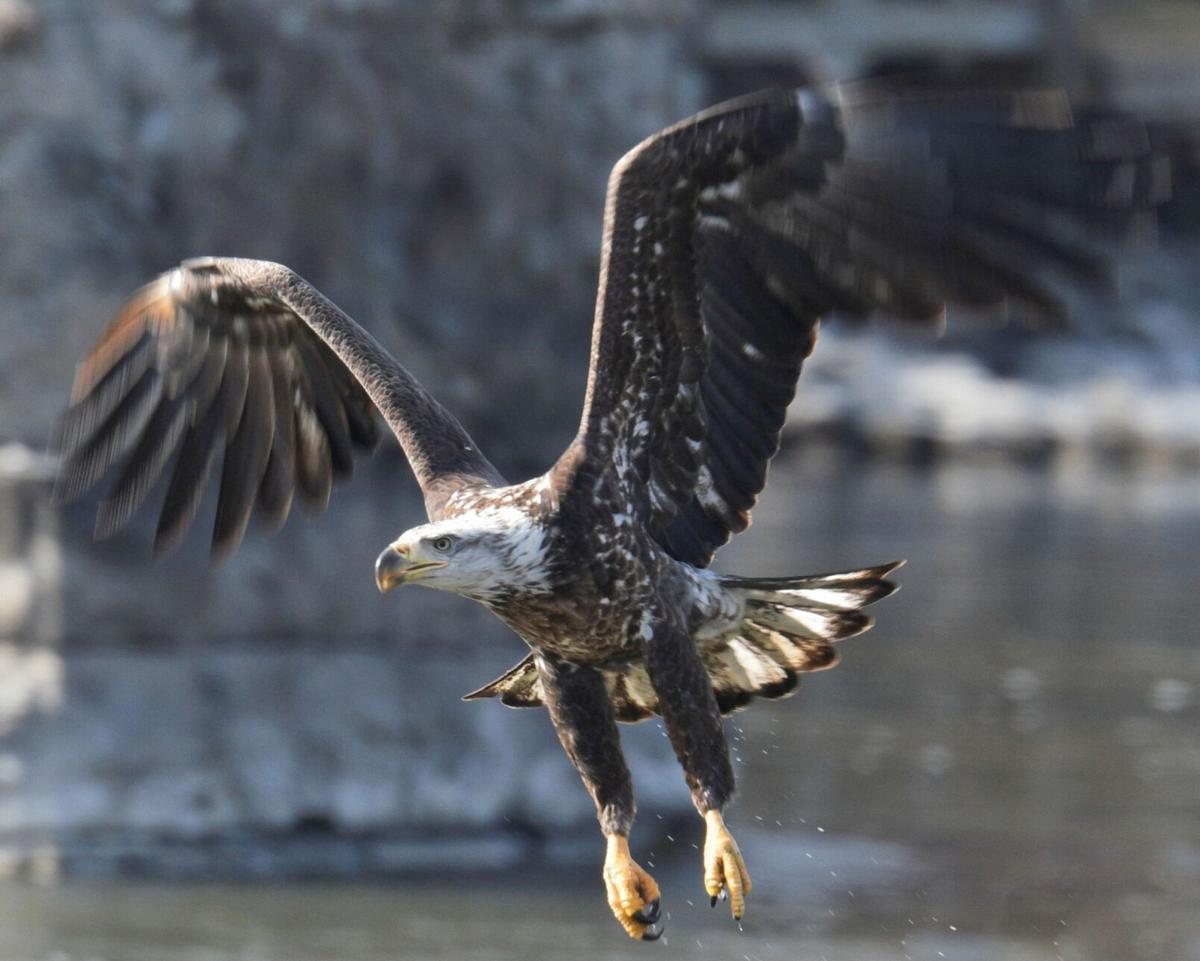 New data: bald eagle populations soaring