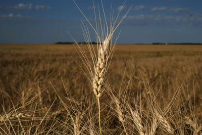 Drought forces farmers to turn crops into hay