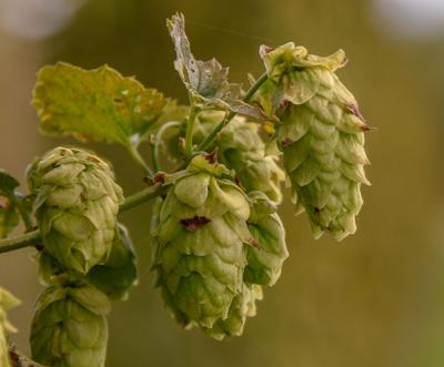 Cornell AgriTech 'hops' to it