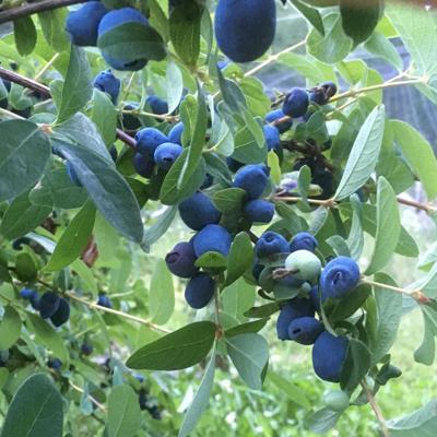 Blueberries won't grow? Try haskaps
