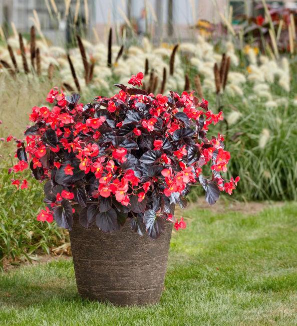 Viking begonias shake up the garden world