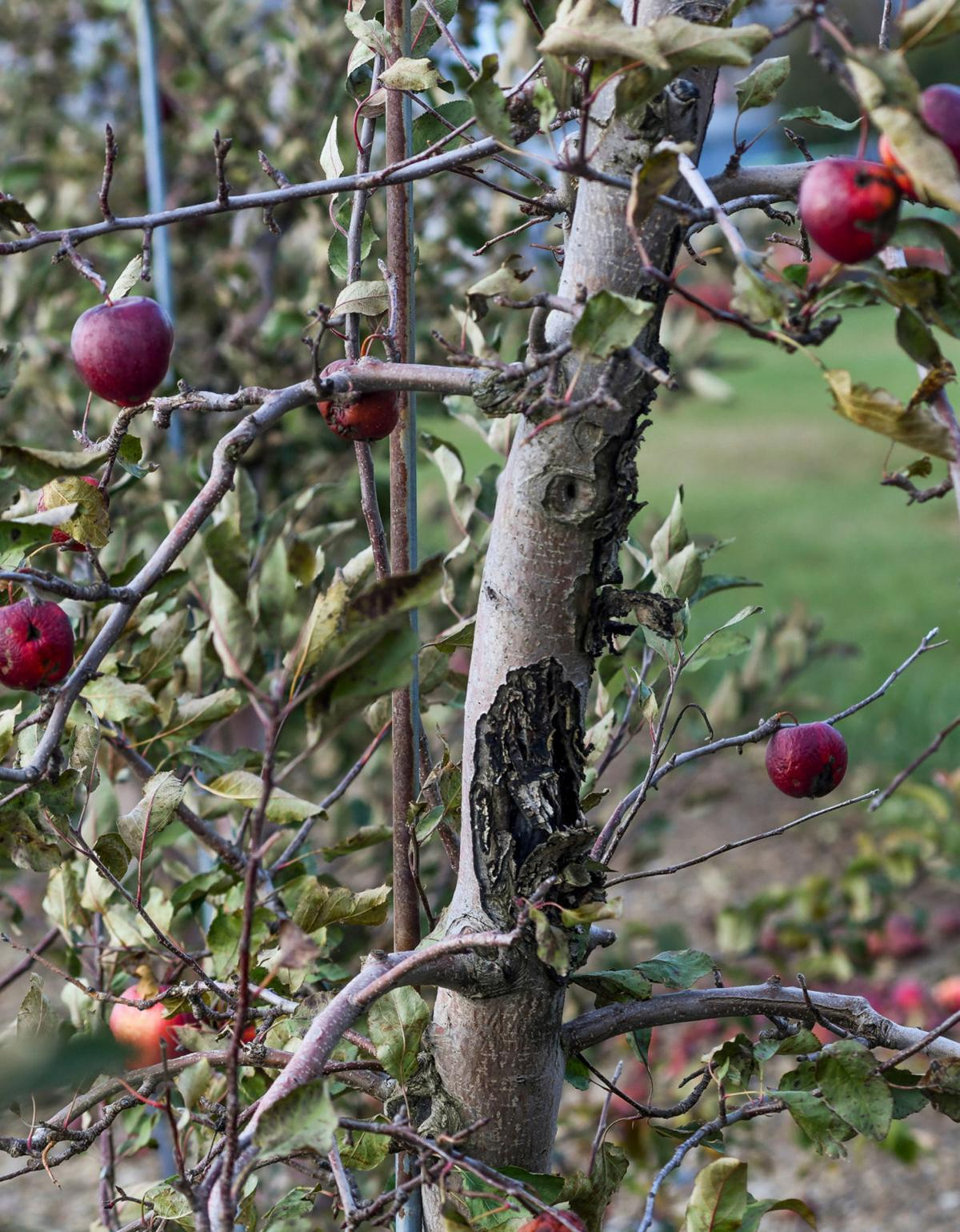 Fire blight spreads north, threatening orchards