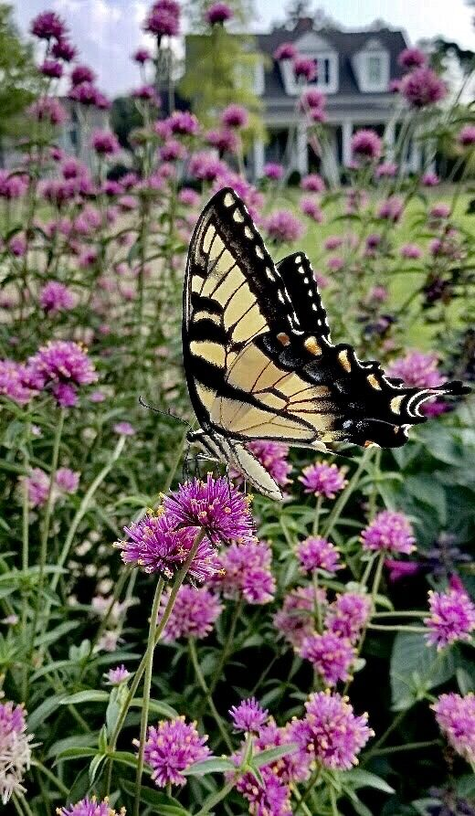 Truffula Pink gomphrena is a butterfly magnet