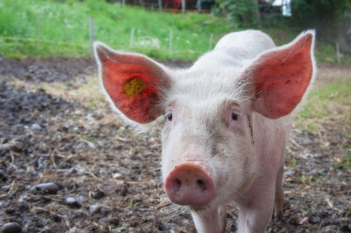 Study: New corona strain in swine could infect humans