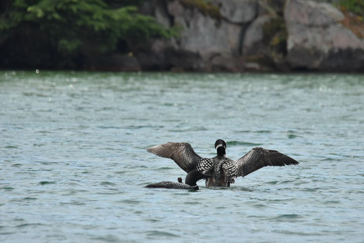 Annual loon census along river slated for July 17