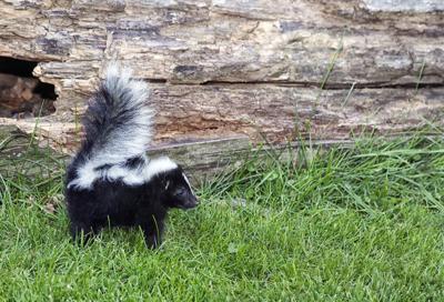A skunk runs loose in school