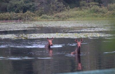 Moose out for a swim in Mountain View Lake