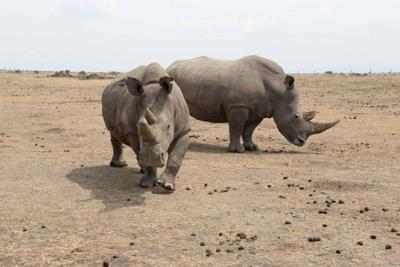 Last chance to save the northern white rhinos