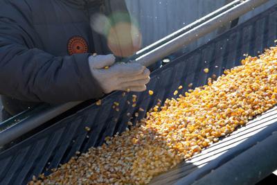 Hurricane causes corn prices to crash