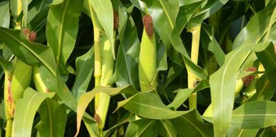 Corn crop may be worse than first believed