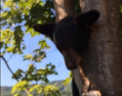 Baby bear rescued from tree by DEC worker (VIDEO)
