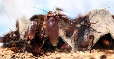 Cockroaches evolving to point where they'll be nearly impossible to kill