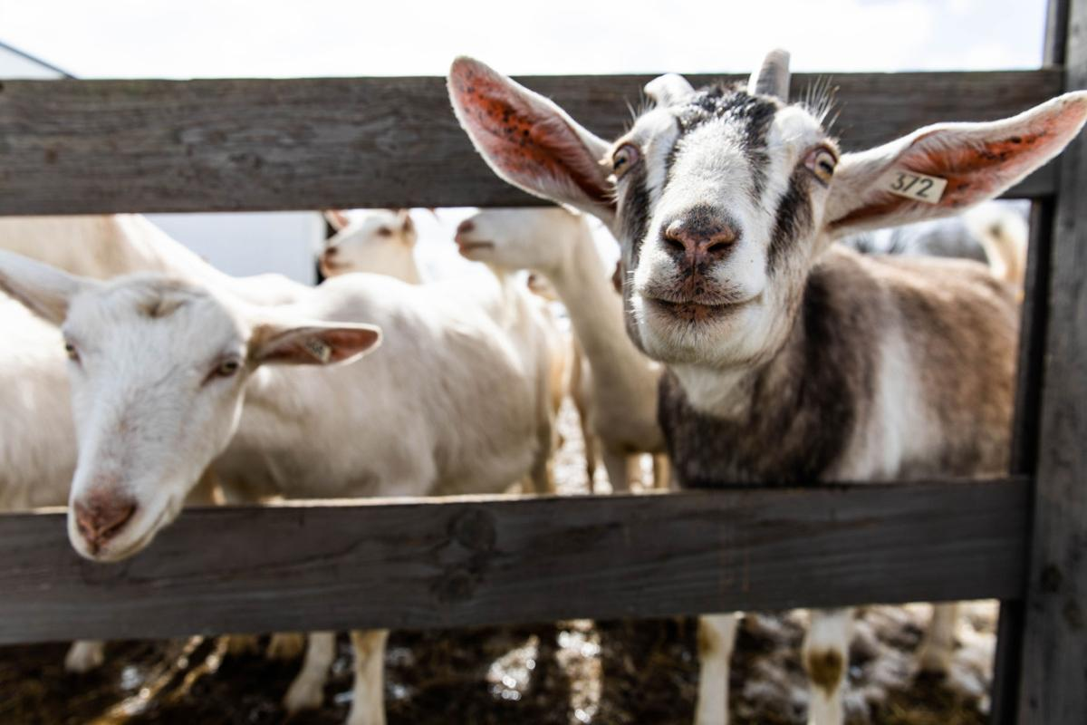 Goat dairy launches new product to stay afloat