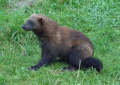 Wolverines return to Mount Rainier National Park