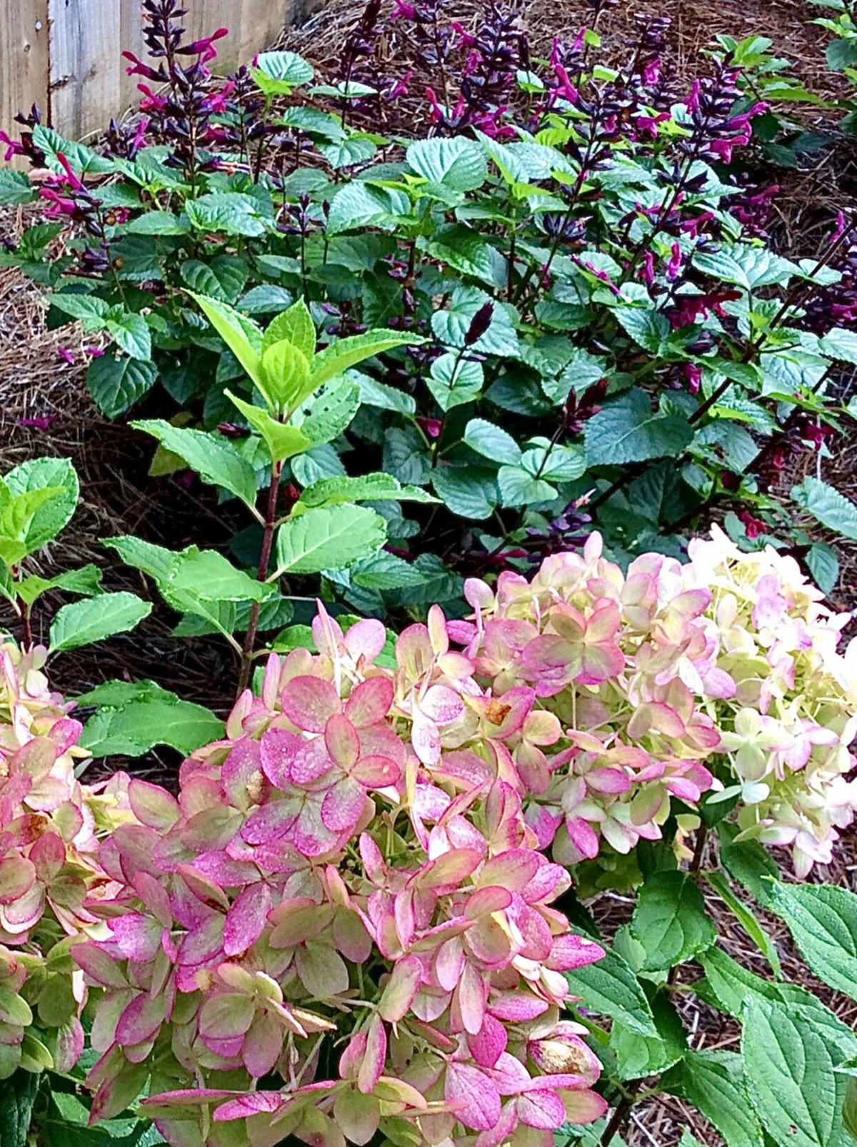 Trio of new HYDRANGEAS tops 2021 must-have list