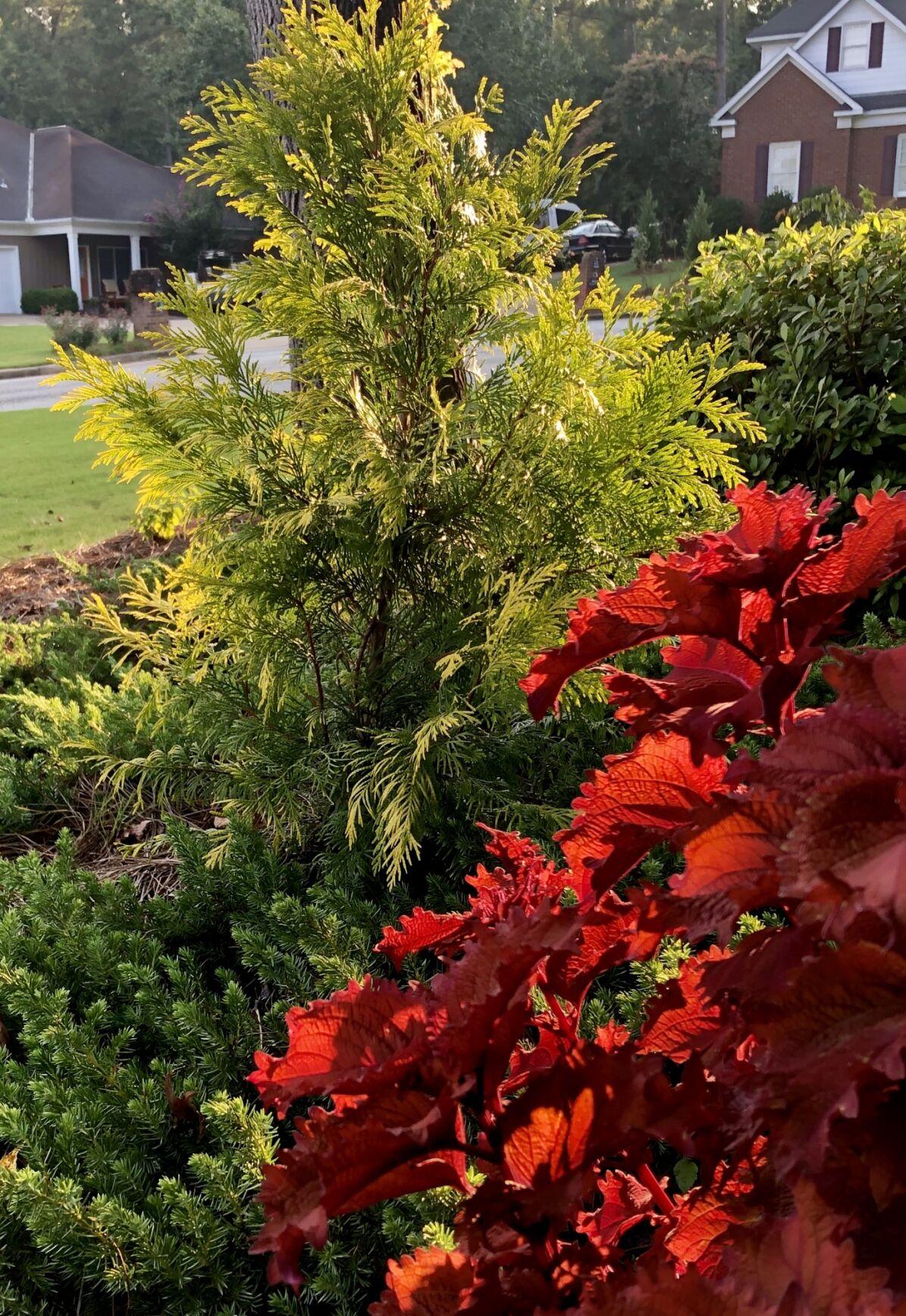 Gold tones of Fluffy conifers make the landscape sparkle