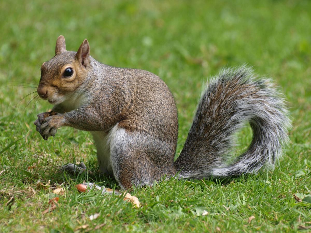 Come autumn, squirrels move in