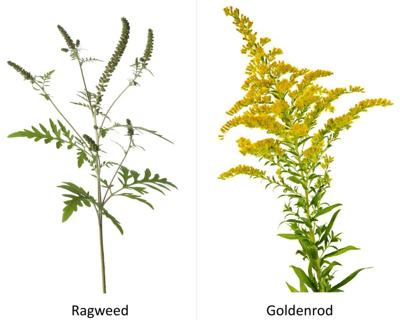 Don't blame goldenrod; allergies are ragweed's fault