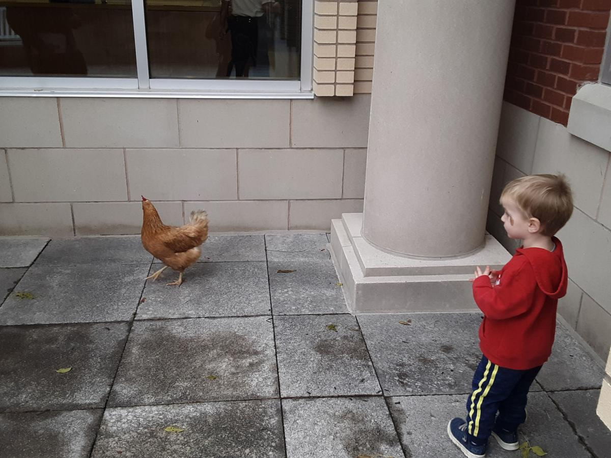 Chicken flies coop, ends up at Lewis Courthouse