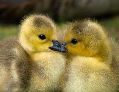 How do you sex baby ducks and geese?