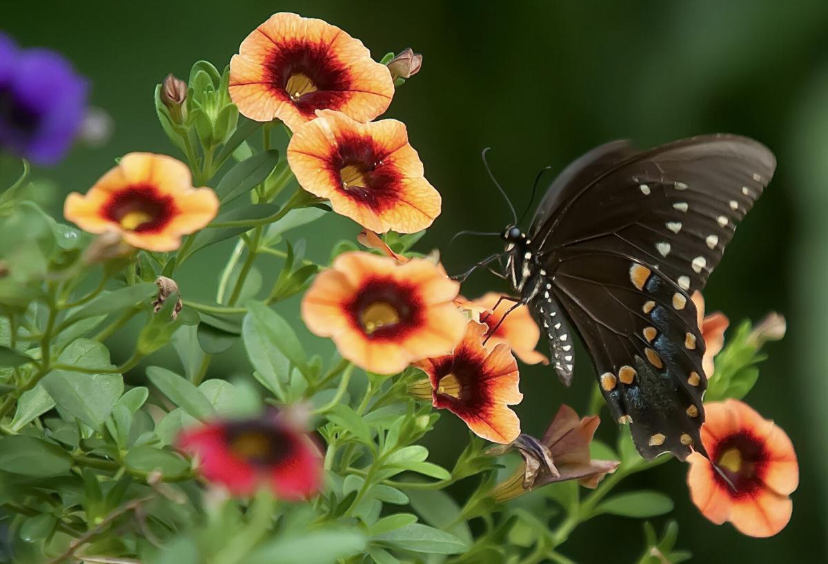 Superbells calibrachoas brings blooms, birds and butterflies