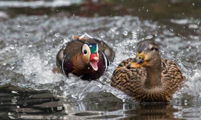 The Mandarin duck Is AWOL. Enter the Hudson River beaver.