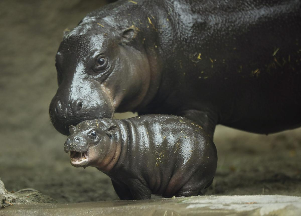 San Diego Zoo's baby pygmy hippo makes splashy debut