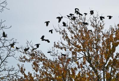 Hazing planned as crows return to downtown