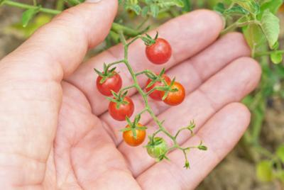 Tasteless tomatoes may be on the way out