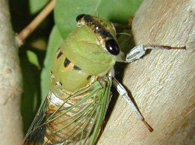 What's all the buzz these days about cicadas?