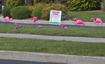 Pink flamingos invade Massena for fundraiser