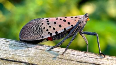 Spotted lanternfly spreading across N.Y.
